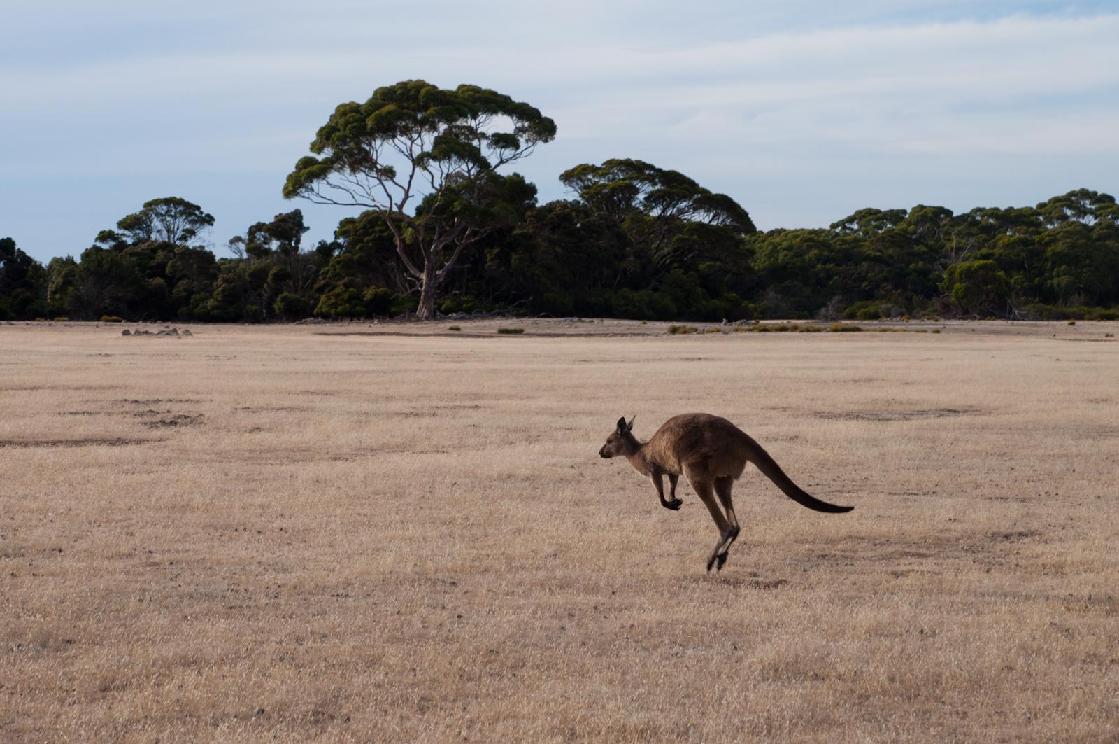 kangourous_kangaroo_island_australie_6