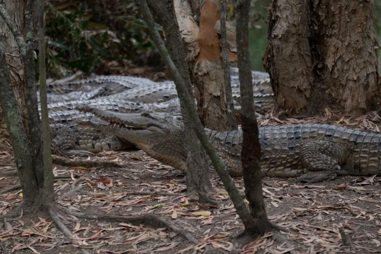 australie-crocodile-hartleys-13