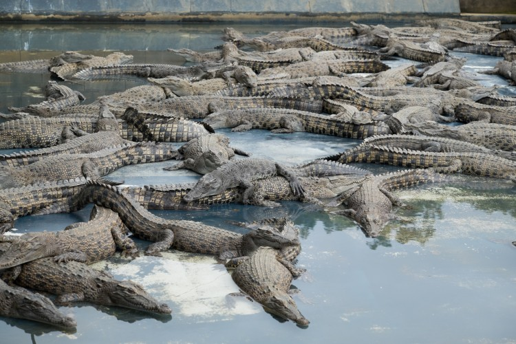 australie-crocodile-hartleys-2