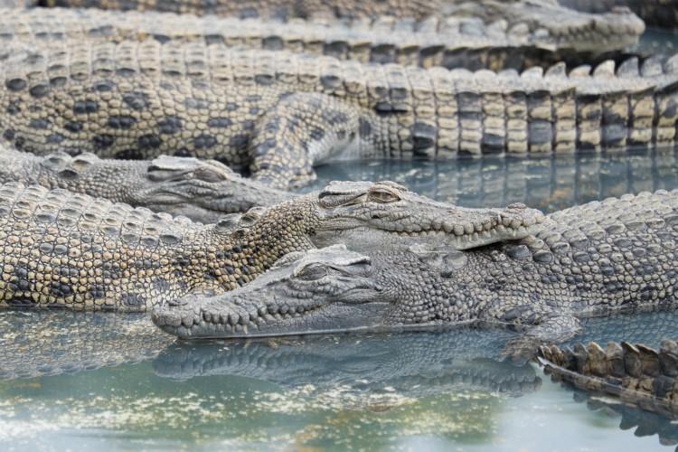 australie-crocodile-hartleys-3