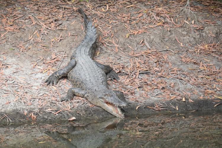 australie-crocodile-hartleys-4