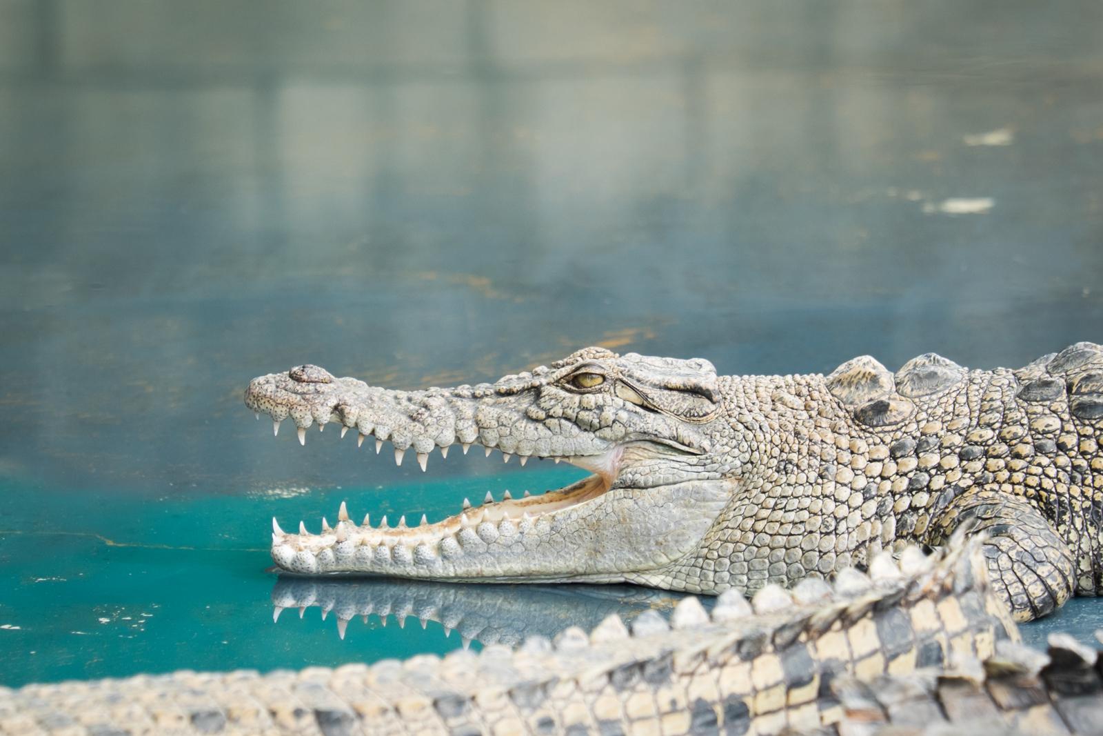 australie-queensland-crocodile