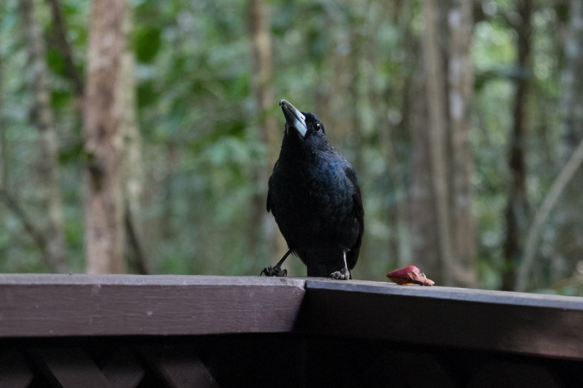 australie-queensland-atherton-tablelands-black-butcherbird