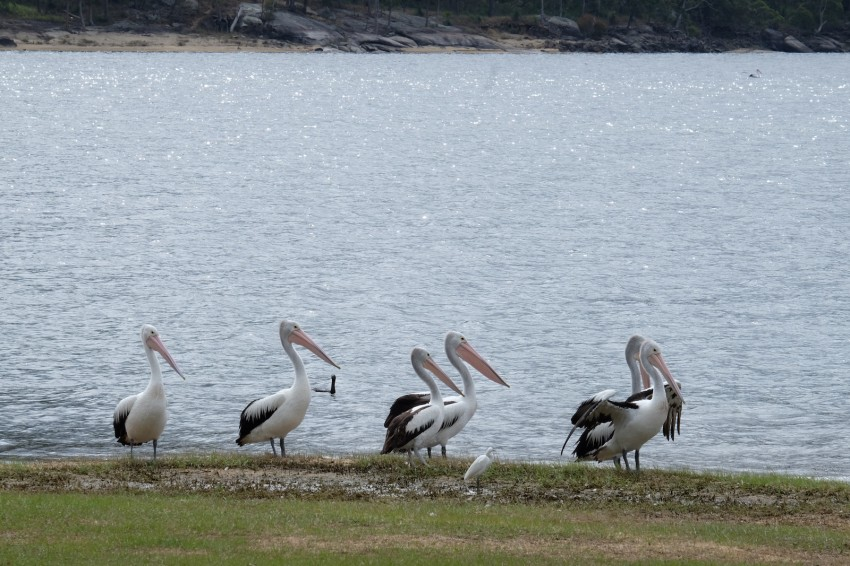 australie-queensland-atherton-tablelands-pelican