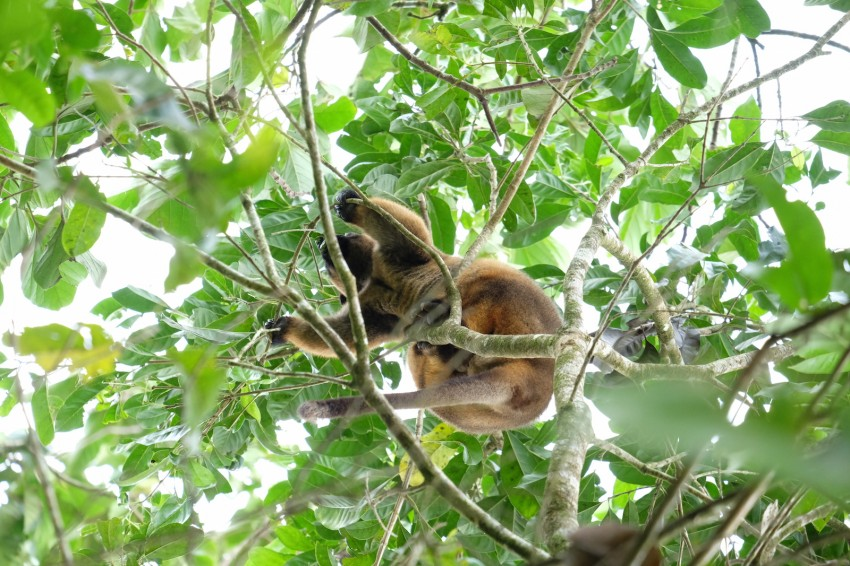 australie-queensland-atherton-tablelands-tree-kangaroo