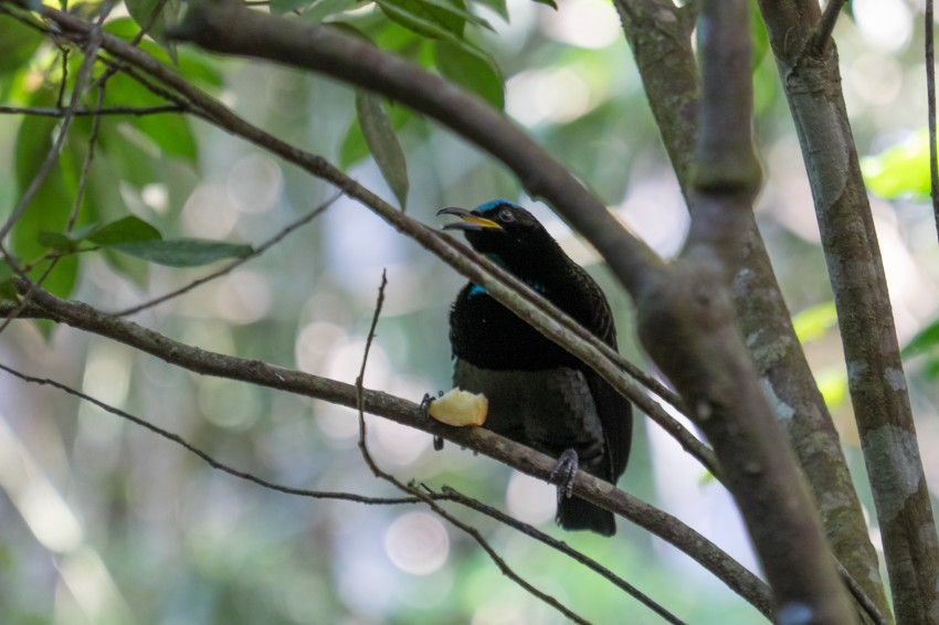 australie-queensland-atherton-tablelands-victorias-riflebird
