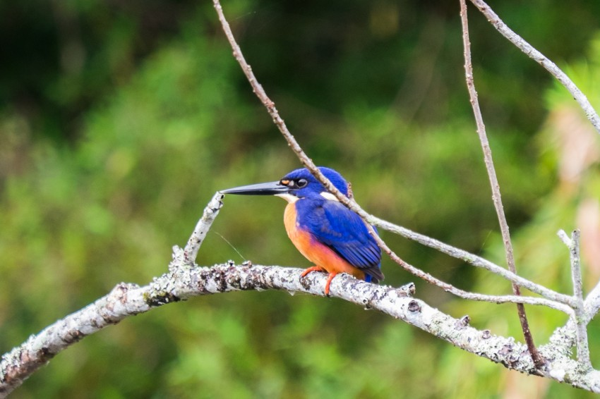 australie-queensland-daintree-river-cruise-azure-kingfisher