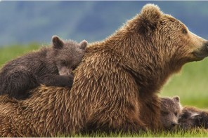 Grizzly, le dernier film de Disney Nature