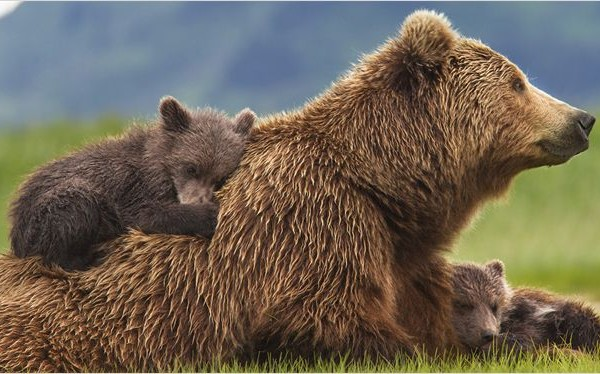 grizzly-disney-2