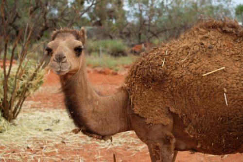 australie-kings-creek-camels