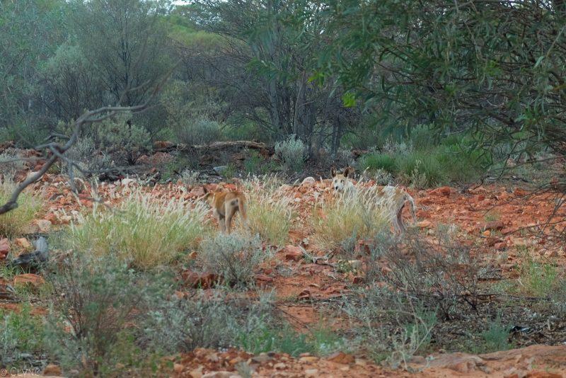 australie-red-center-dingo