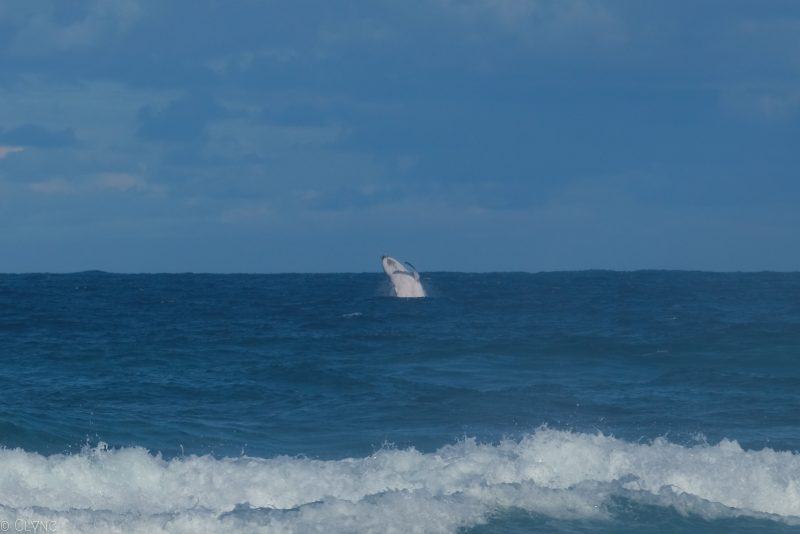 australie-fraser-island-baleine