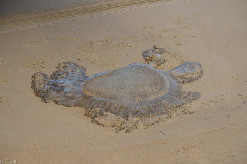 australie-fraser-island-meduse