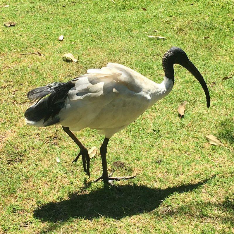 ibis-sydney