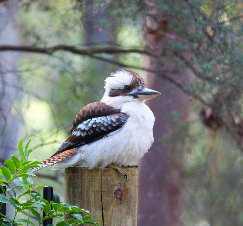 kookaburra-australie